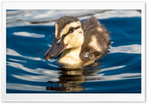 Young Chicken In Lake