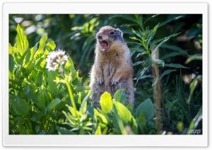 Marmot Screaming