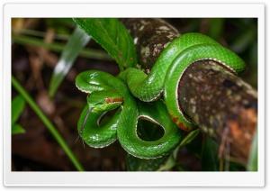 Gumprecht s Green Pit Viper...