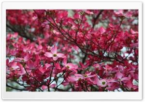 Pink Dogwood Tree Spring Bloom