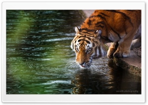 Tiger - Sarath