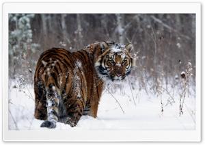 Tiger, Winter
