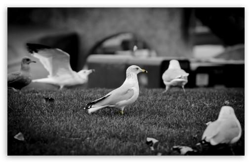 Download Seagulls UltraHD Wallpaper