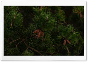 Green Pine Tree Branches