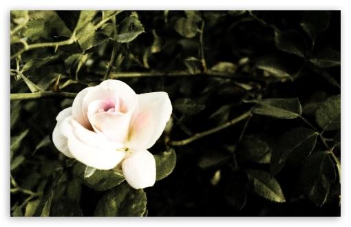 Download Rose UltraHD Wallpaper