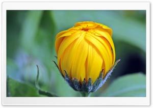 Marigold Calendula Bud Open
