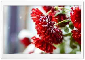 Snow Over Red Flowers