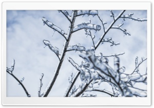 Branches Engulfed In Ice
