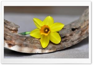 Single Daffodil