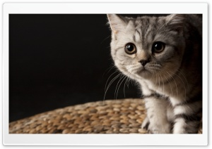 Small Striped Cat
