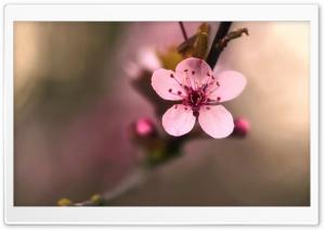 Pink Cherry Flower Macro