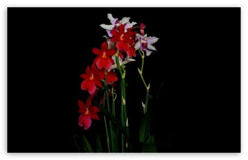 Download Cambria Orchids UltraHD Wallpaper