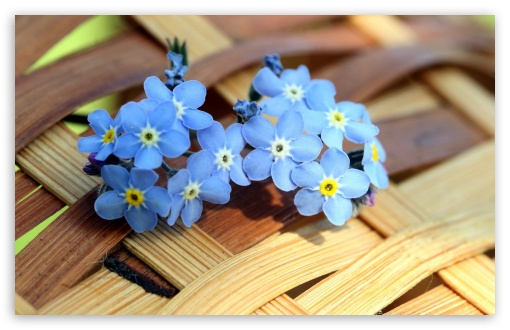 Download ws Blue Forget me not Flowers  UltraHD Wallpaper