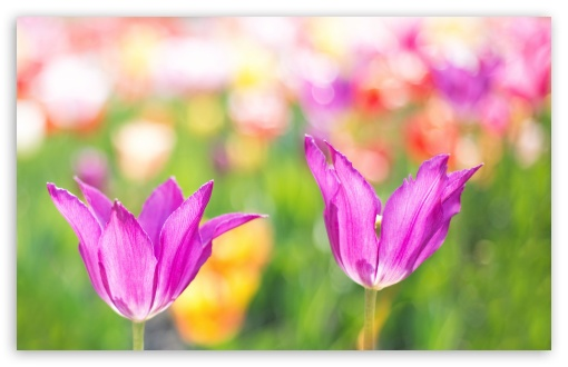 Download Spring Colorful Tulips UltraHD Wallpaper