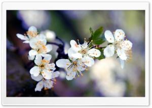 Apricot Flowers Macro