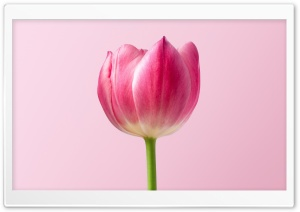 Single Pink Tulip Spring...