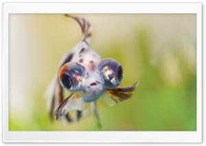 Goldfish Telescope Eyes