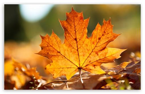 Download Autumn Leaf UltraHD Wallpaper