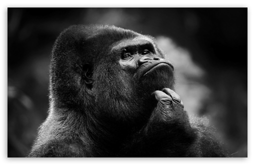Download Thoughtful Gorilla BW UltraHD Wallpaper