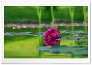 Lotus Flower, Green Lake