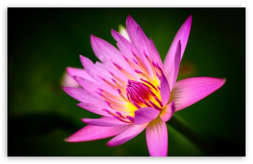 Download Pink Water Lily UltraHD Wallpaper