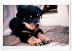 Cute Rottweiler Puppy