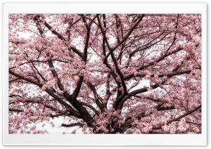 Soft Pink Japanese Cherry...