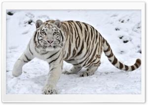 White Tiger On Snow Winter